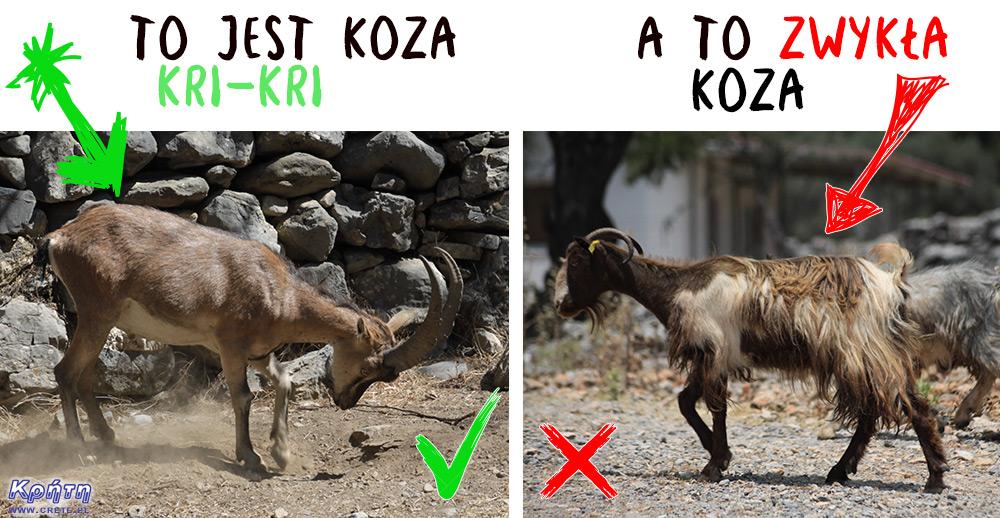 Koza Kri-kri a zwykła koza