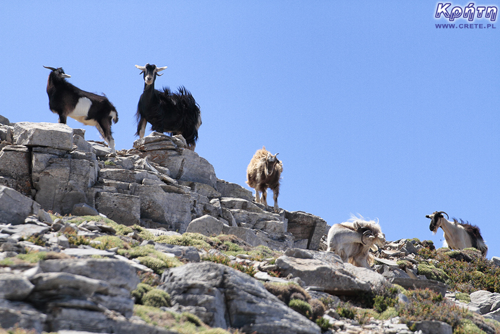 Psiloritis - photos of goats and sheep met on the trail