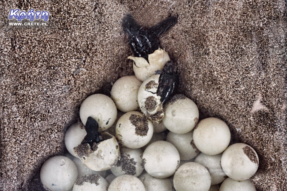 Caretta Caretta Nest
