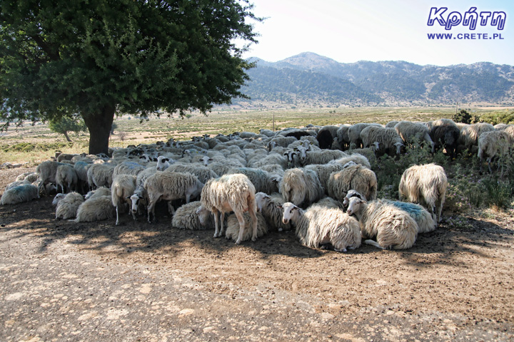 Feta owce