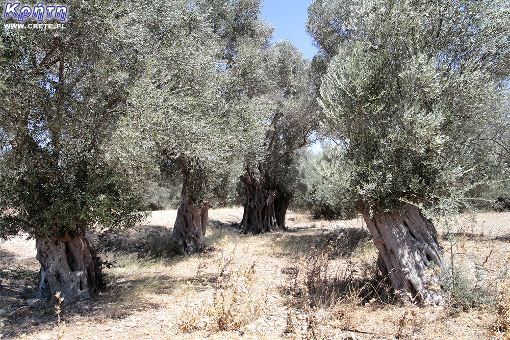 Gortyna - olive grove