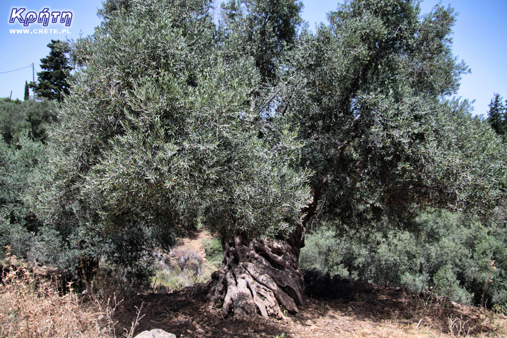 Old olive grove in Greece