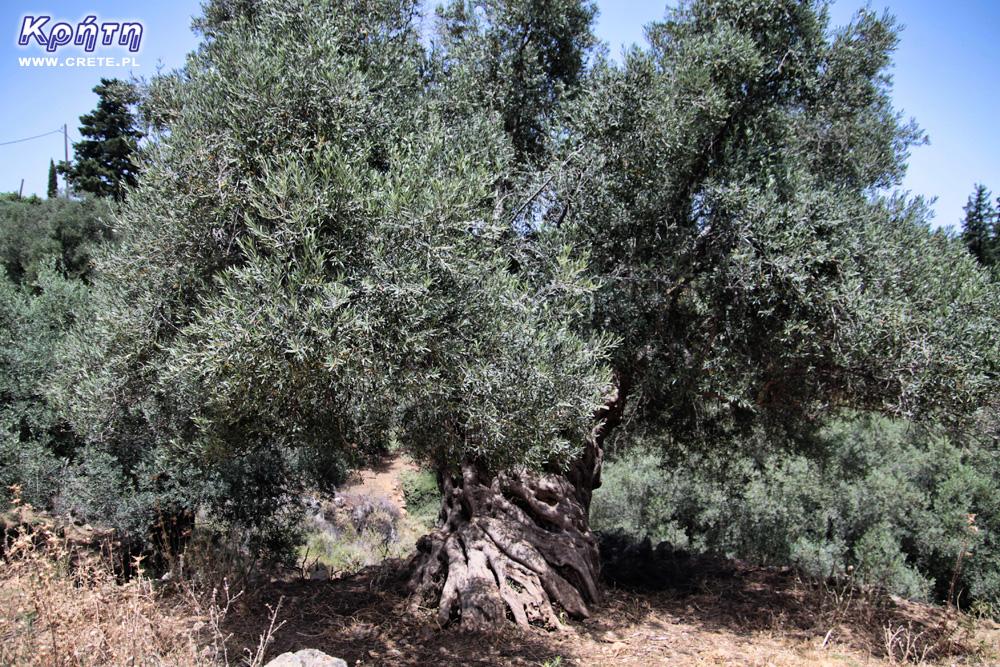 Old Cretan olive