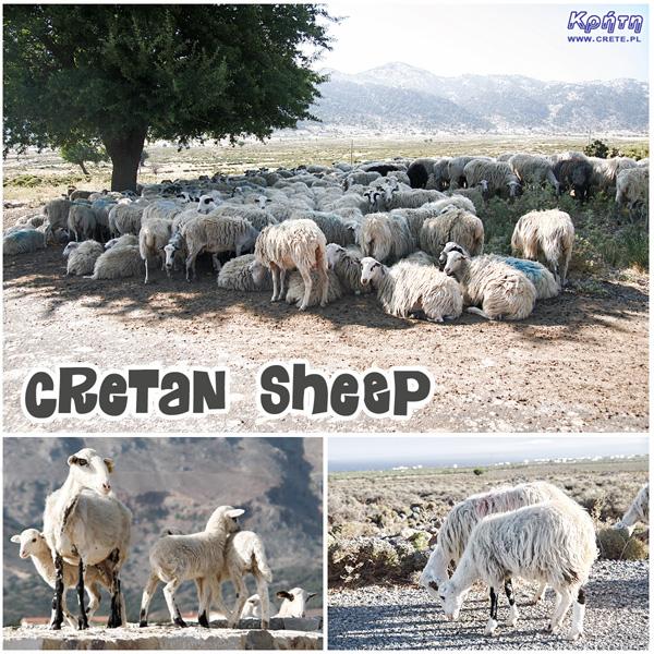 Kreteńskie owce
