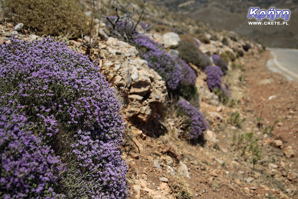 Thyme in Crete
